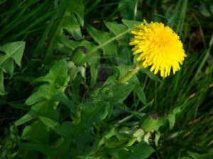 4743335-yellow-dandelion-on-the-grass-background